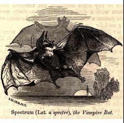 Echte Vampire: Der Gemeine Vampir (Desmodus rotundus).